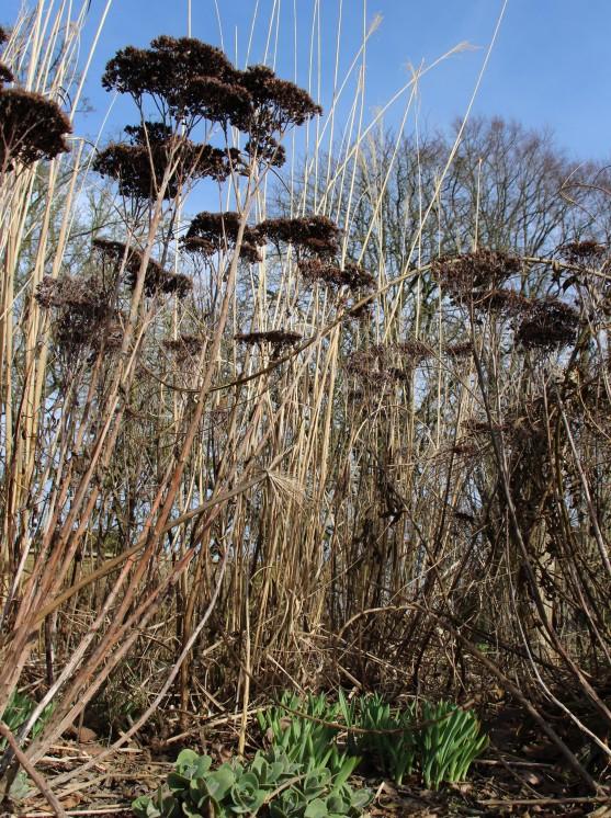 Nouvelles pousses de Sedum et Allium