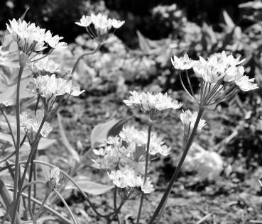 LTAJ-AlliumNeapotitanum