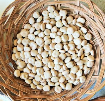 Les graines du Lupin blanc, un engrais vert comstible