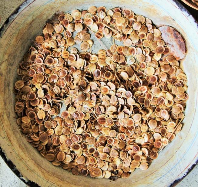 Les graines du panais