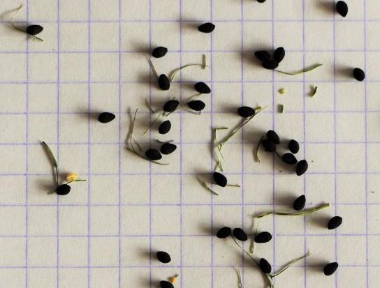 Les graines de nigelle