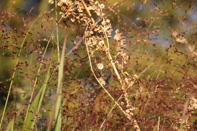 Panicum 'Shenandoah' et arroche rouge défleurie
