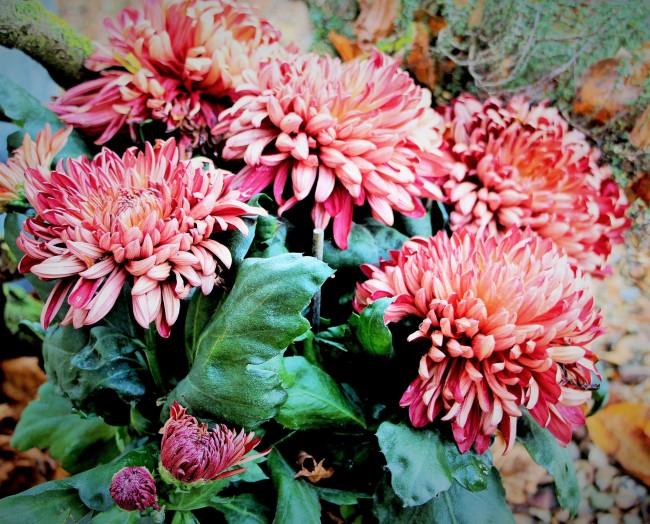 Chrysanthèmes à fleurs récurvées