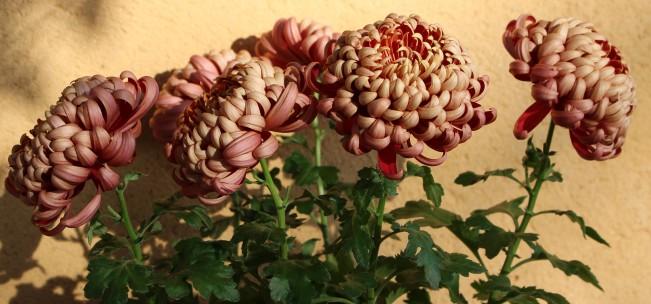 LTAJ-ChrysanthemesRecurveIncurve