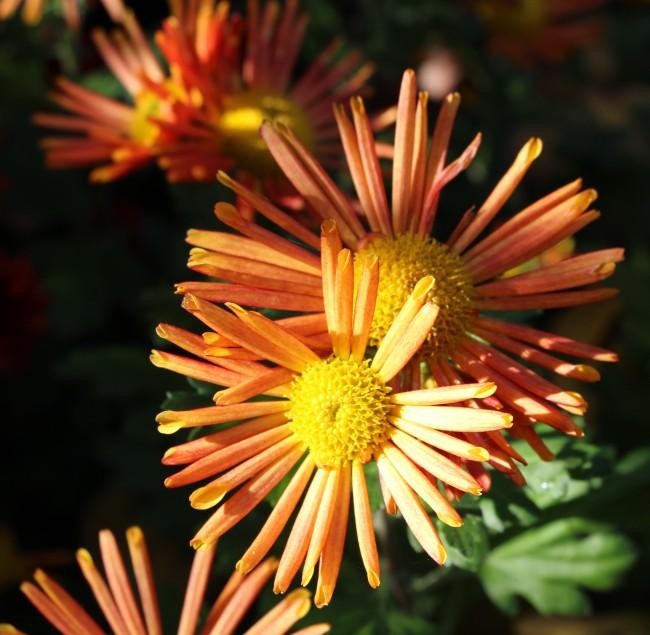 Chrysanthème à fleur tubulée-spatulée